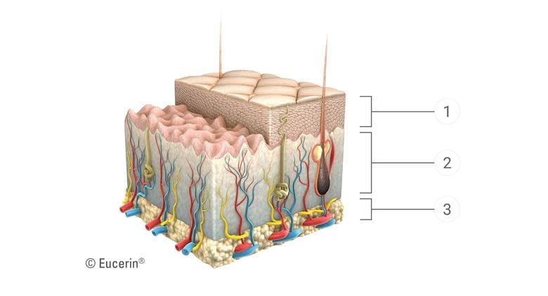 روند پیری پوست بر روی هر لایه از پوست 1 لایه های اپیدرمال 2 لایه های پوستی 3 لایه های زیر پوستی تأثیر می گذارد