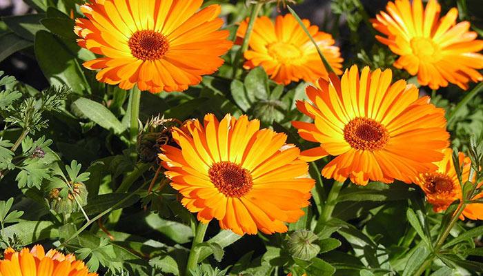 گل همیشه بهار موثر در درمان آلرژی ها